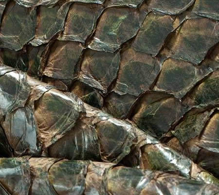 Pirarucu skin green